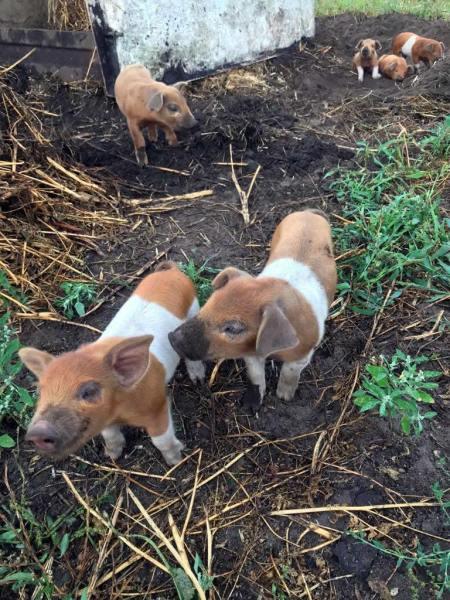 varkens-kinderboerderij-drenthe