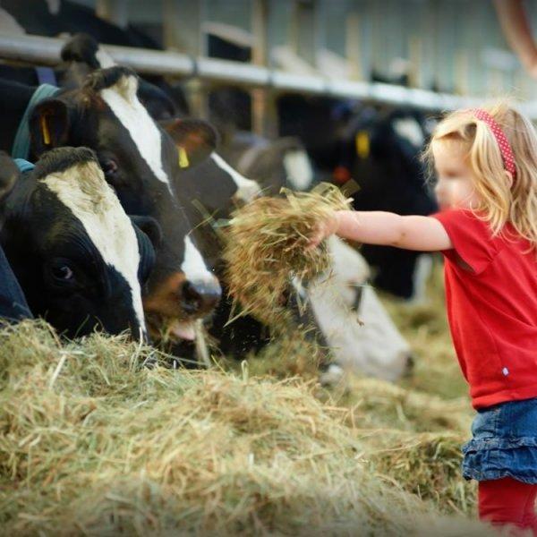 kind-voert-koeien
