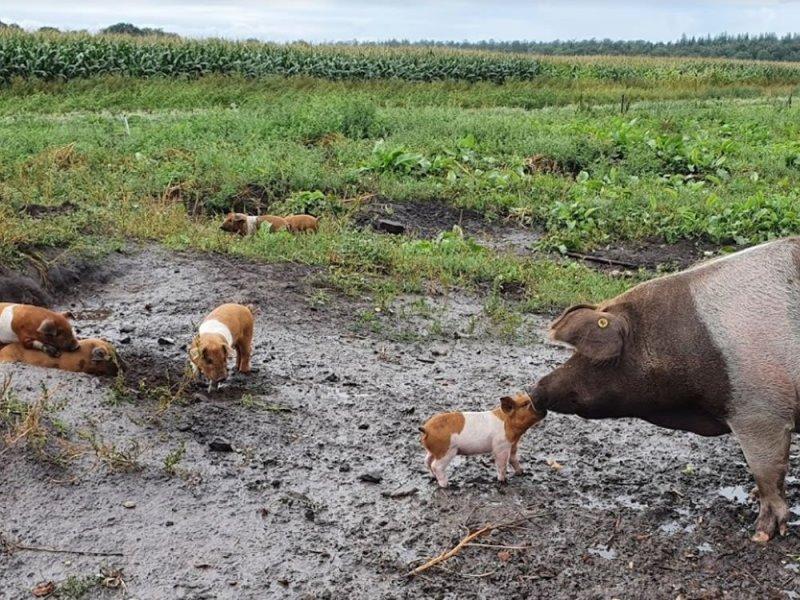 varkens-in-modder