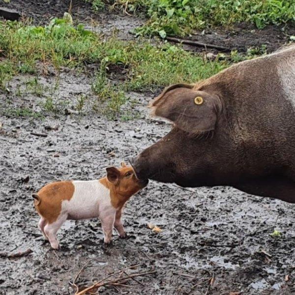varkens-kinderboerderij-750
