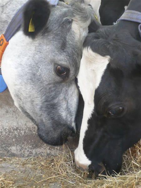 koeien-knuffelen
