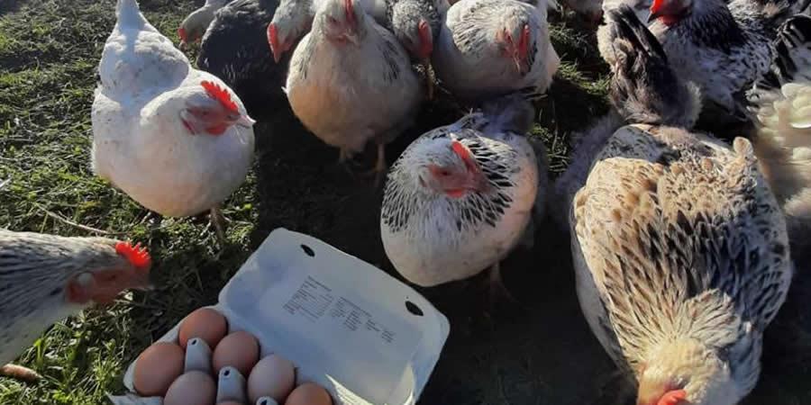 kippen op boerderijcamping